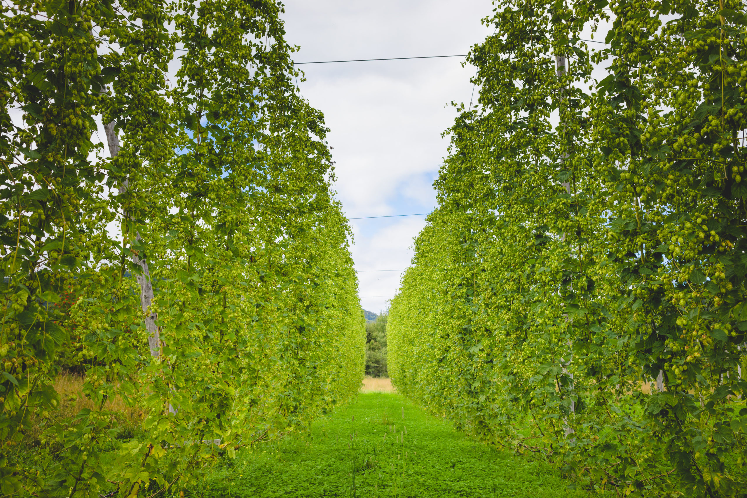 View to green hop field with tied plants prepared for harvesting.